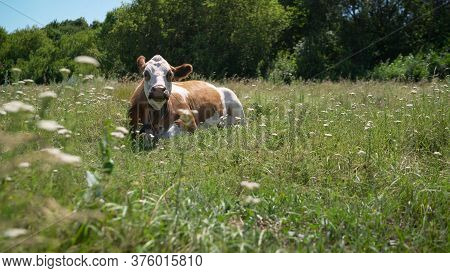 Red Cow Lies In The Meadow In Summer. Horned Cow Lies On The Grass Meadow