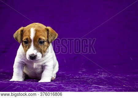 Calm Puppy Bitch Jack Russell Terrier Sitting On A Purple Bedspread, Horizontal Format