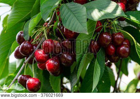 Big Dark Ripe Cherries On Cherry Trees Plantation In Netherland
