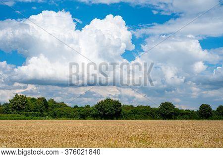 Dutch Green Landscape In Summer With Ripe Wheat Field Betuwe, Gelderland