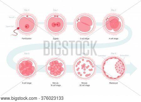 Embryo Development Concept. Insemination And Fertalization. Female And Male Egg Cell Icon. Human Sex
