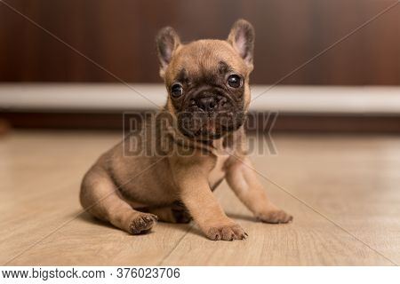 Portrait Of One-month-old French Bulldog Puppy. Cute Little Puppy.