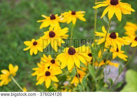 Yellow Garden Flowers Of Rudbeckia. Flowers Of Rudbeckia Fulgida, The Orange Coneflower Or Perennial