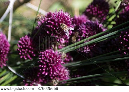 Bees On The Flower Od Chieve, Pollinating The Plant