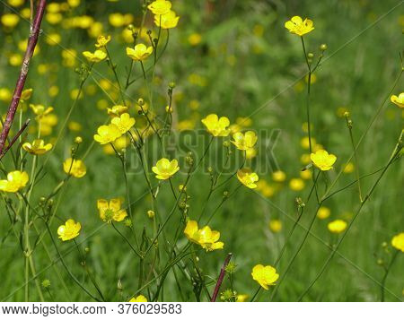 Yellow Flowers Burning Buttercup, Poisonous And Herbal Medicative Plant