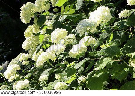 Bush Of Hydrangea. White Flowers Of Hydrangea In The Garden. Flowering Shrub Of Hydrangea In The Sum