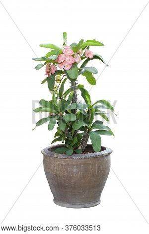 Pink Euphorbia Milli Or Crown Of Thorns Flower Bloom In Pot Isolated On White Background Included Cl