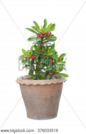 Red Euphorbia Milli Or Crown Of Thorns Flower Bloom In Pot Isolated On White Background Included Cli