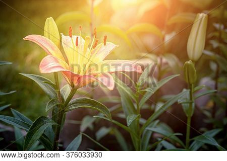 A Blooming Lily Flower In The Garden At Sunset. Close Up