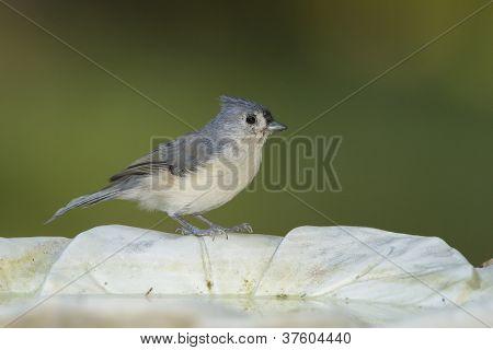 Tufted Titmouse On A Birdbath