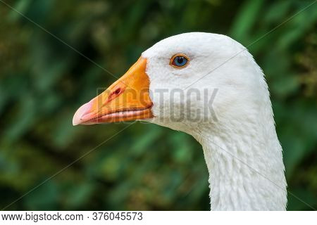 Domestic Goose, Anser Cygnoides Domesticus, In Profile. Domesticated Grey Goose, Greylag Goose Or Wh