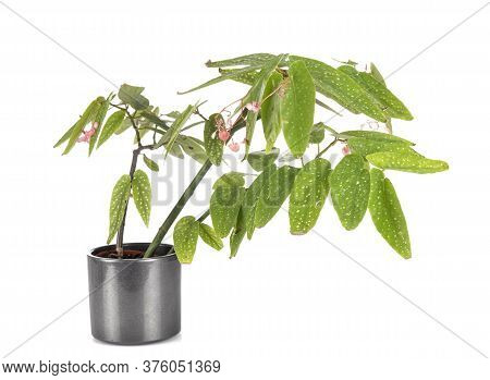 Begonia Maculata In Front Of White Background