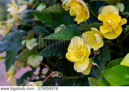 Bright Yellow Begonia Flower With Green Leaves In Sunny Day. Flowerbed With Begonia As Dtreet Decora