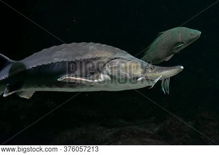 Large Beluga Fish Also Known As Great Sturgeon Or Huso Huso Is Swiming Underwater. Close Up View Of