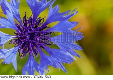 Stunning Blue Corn Flower Head (centaurea Cyanus) In Full Bloom Close Up In Macro Detail. Blurred Ba
