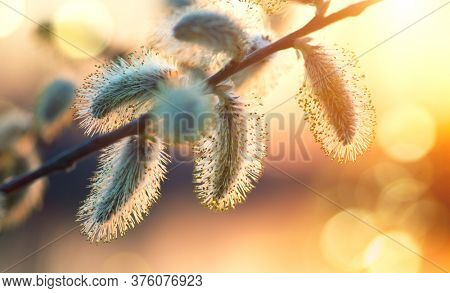 Pussy willow with open fluffy yellow buds over sunset spring nature background. Blooming spring willow flowers backdrop, Close-up. Easter art design