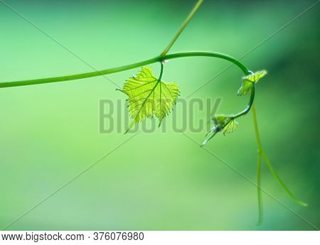 Vine leaf details. Grapevine close-up. Grape vine backdrop. Wine production concept. Winery. Green nature art background. Label design