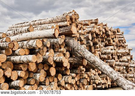 Huge Stack Of Unbarked Birch Logs Prepared For Processing