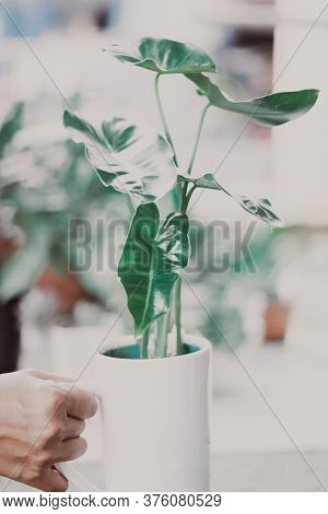 Fresh Green Arrowhead Vine Plant (syngonium Podophyllum) In Black Pot