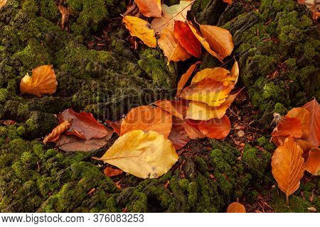 Fallen Autumn Orange Leaves On A Moss Covered Tree Stump. Seasonal Abstract Close Up Nature Detail