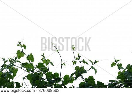 Ivy Gourd Plant With Leaves Branches On White Isolated Background For Green Foliage Backdrop