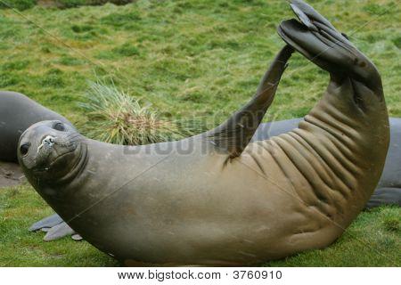 Weddell Seal Calisthenics