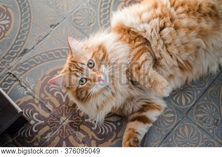 Hairy Red Cat Is Rolling On The Old Patterned Tiles