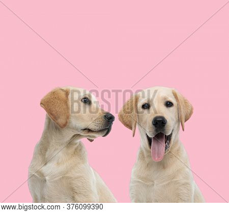 team of two labradors retriever panting and sticking out tongue on pink background