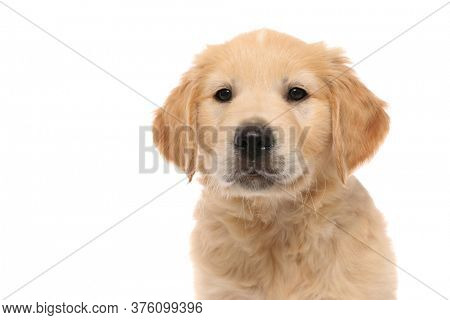 portrait of a golden retriever dog standing, looking at the camera with cute humble eyes on white studio background