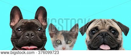 cute metis cat looking at camera between a happy French Bulldog dog and Pug dog that are panting on blue background