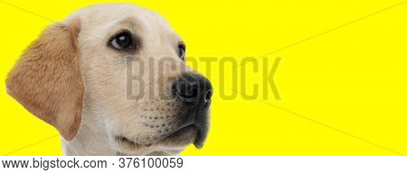 Curious golden Labrador Retriever looking away focused on yellow studio background