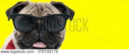 Cool Pug wearing sunglasses and bowtie, panting on yellow studio background