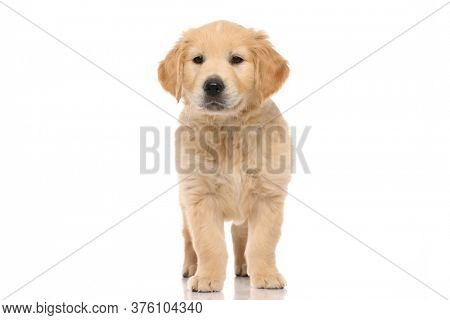 happy little golden retriever dog with nice fluffy hair, standing and looking at the camera on white studio background