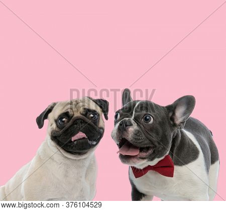 team of pug and french bulldog panting and sticking out tongue on pink background