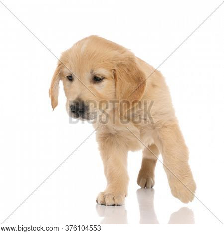 small golden retriever dog standing on three paws and looking away and being intrigued by what he sees on white studio background
