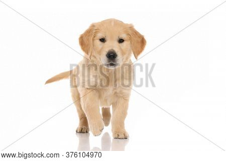 cute little golden retriever dog walking towards an object that intrigues him on white studio background