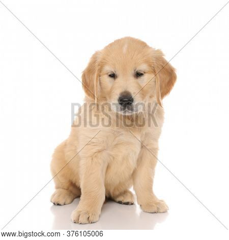 seated golden retriever dog looking away, almost falling asleep on white studio background