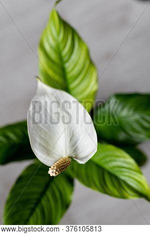 Vase White Lilly Spathiphyllum Flower On The Floor