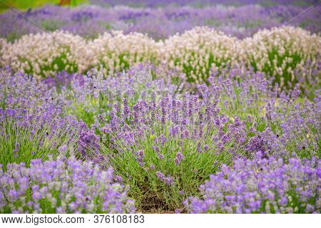 Lavender Flower Blooming Scented Fields As Nature Background In Czech Republic