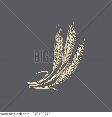 Wheat Ear Illustration In Vector. Drawn Rye Spike.