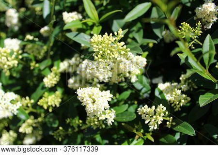 The Picture Shows Blossoming Privet In The Garden