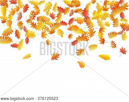 Oak, Maple, Wild Ash Rowan Leaves Vector, Autumn Foliage On White Background. Red Orange Yellow Rowa