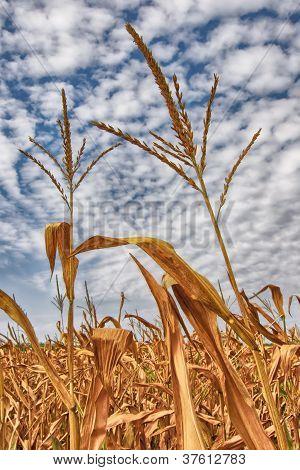 Két kukorica szára