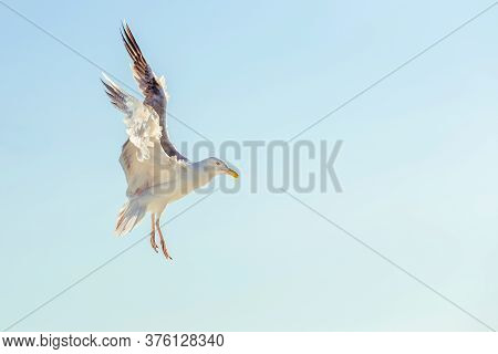 Seagull Close Up. Seabird In The Blue Sky In The Rays Of The Sun. Profile Of A Seagull With Spread W