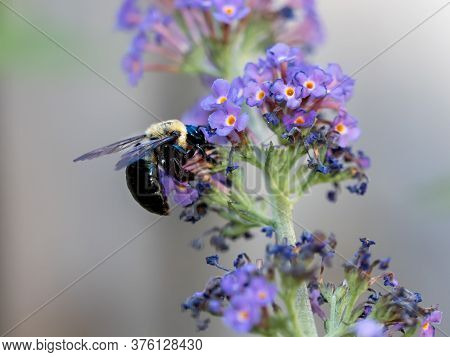 Bumblebee Pollinating Purple Butterfly Bush Flower Bloom In The Summer With A Soft Blurry Background