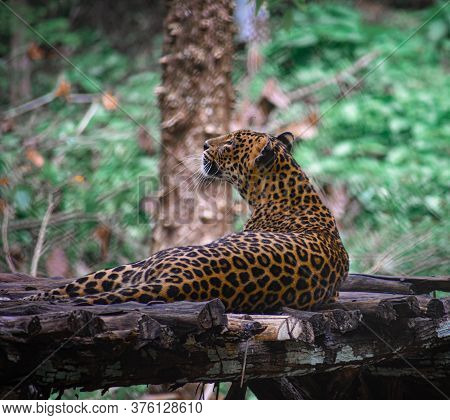 A Jaguar Lying In Wooden Bench In The Forest Of Karnataka .