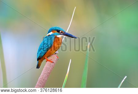 The Common Kingfisher, Also Known As The Eurasian Kingfisher And River Kingfisher, Is A Small Kingfi