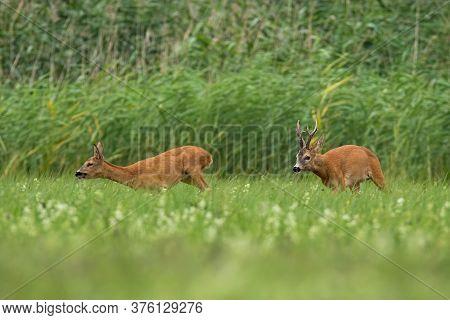 Two Roe Deer Running On Field In Rutting Season.