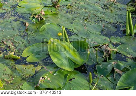 Water Lilies In A Dam. All Green Picture. Photo From Scania In Southern Sweden