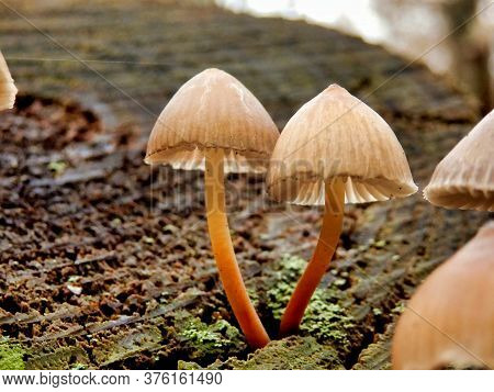 A Troop Of Mycena Inclinata Mushrooms, Also Known As Clustered Bonnet Growing Out Of A Tree Stump